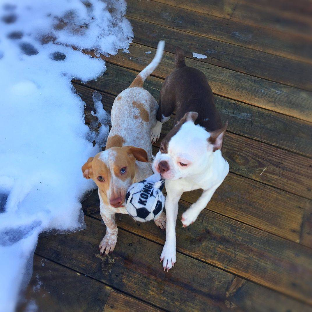 Photo of two dogs playing with a toy soccer ball
