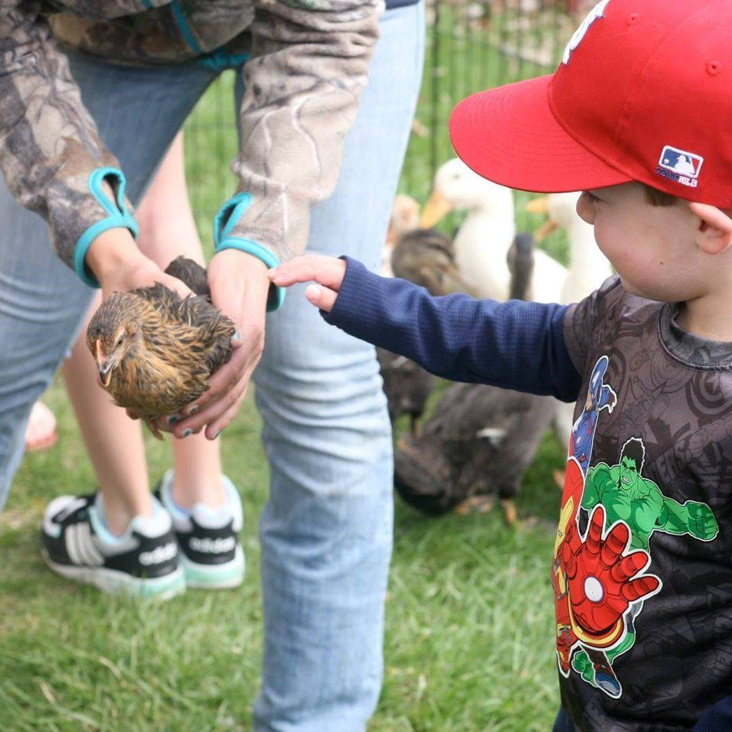little boy petting a chicken