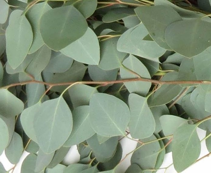 Eucalyptus, Essential oils, Fort Saskatchewan