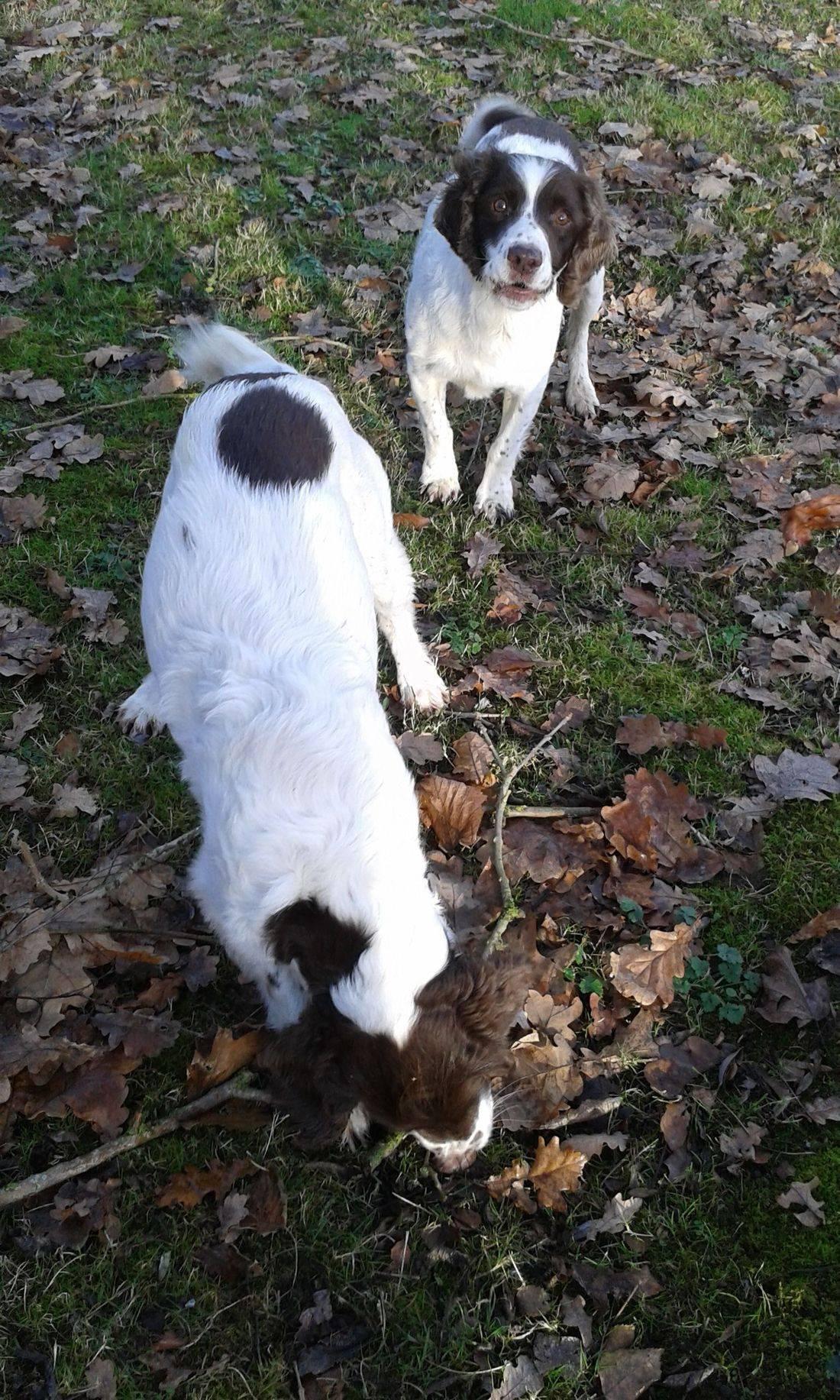 Springer spaniels amongst the leaves