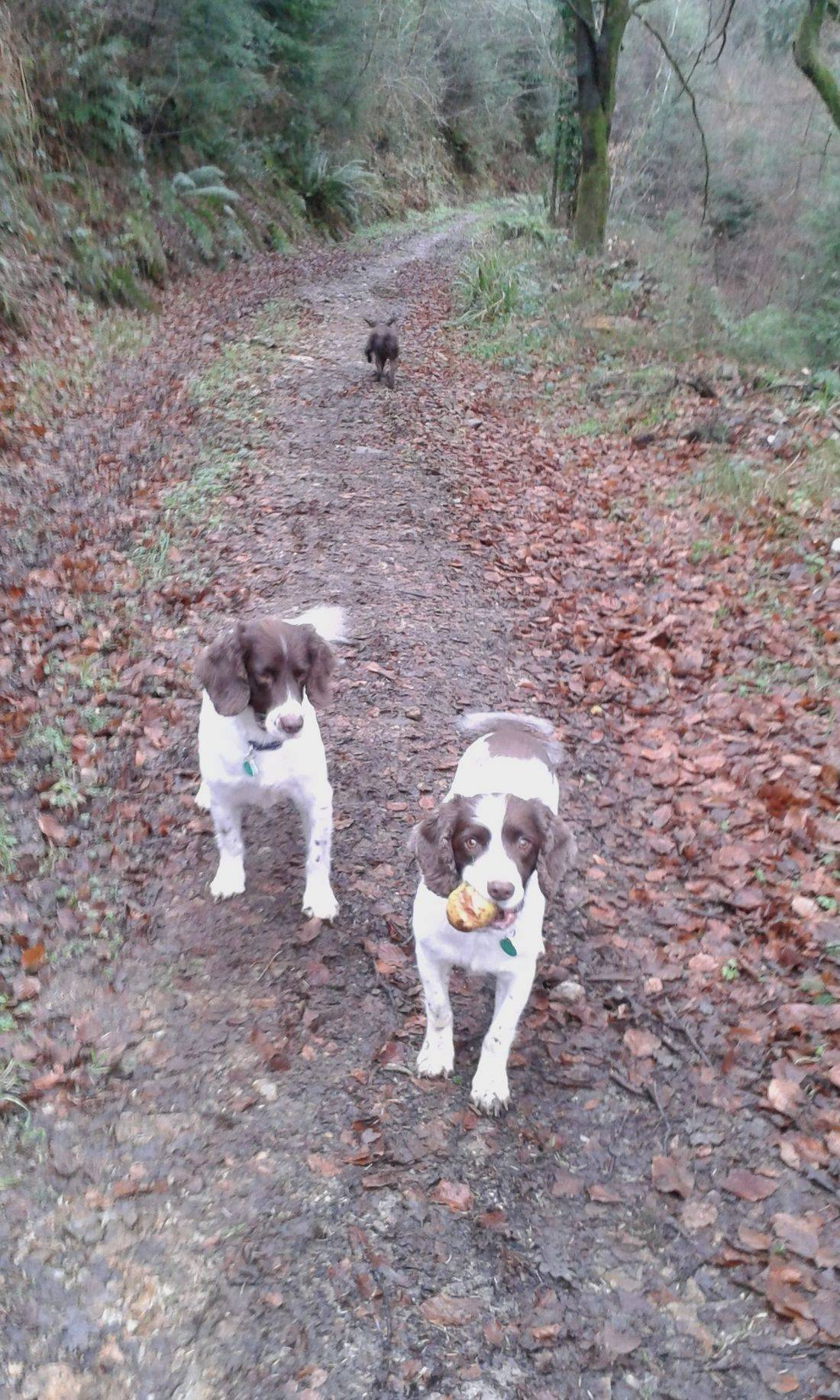 Springer and cocker spaniels in the woods