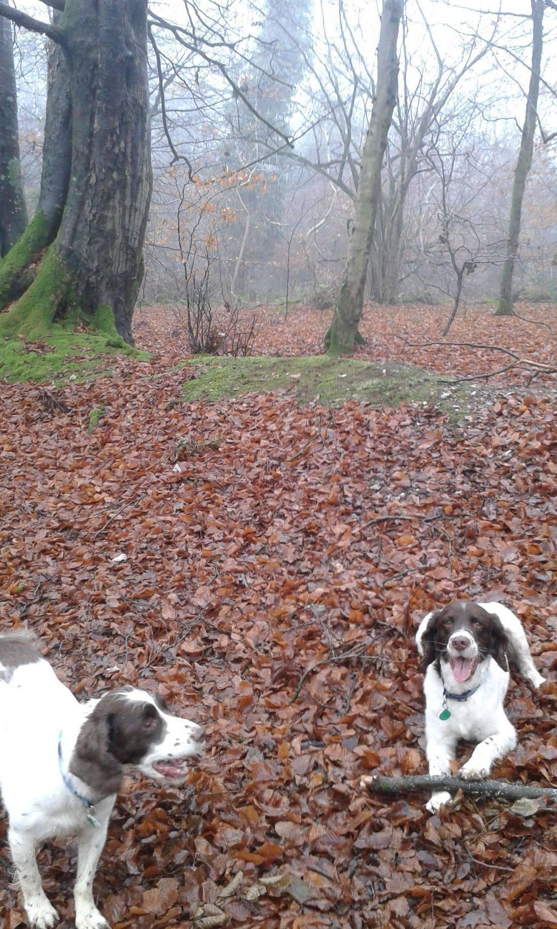Springer spaniels in the woods