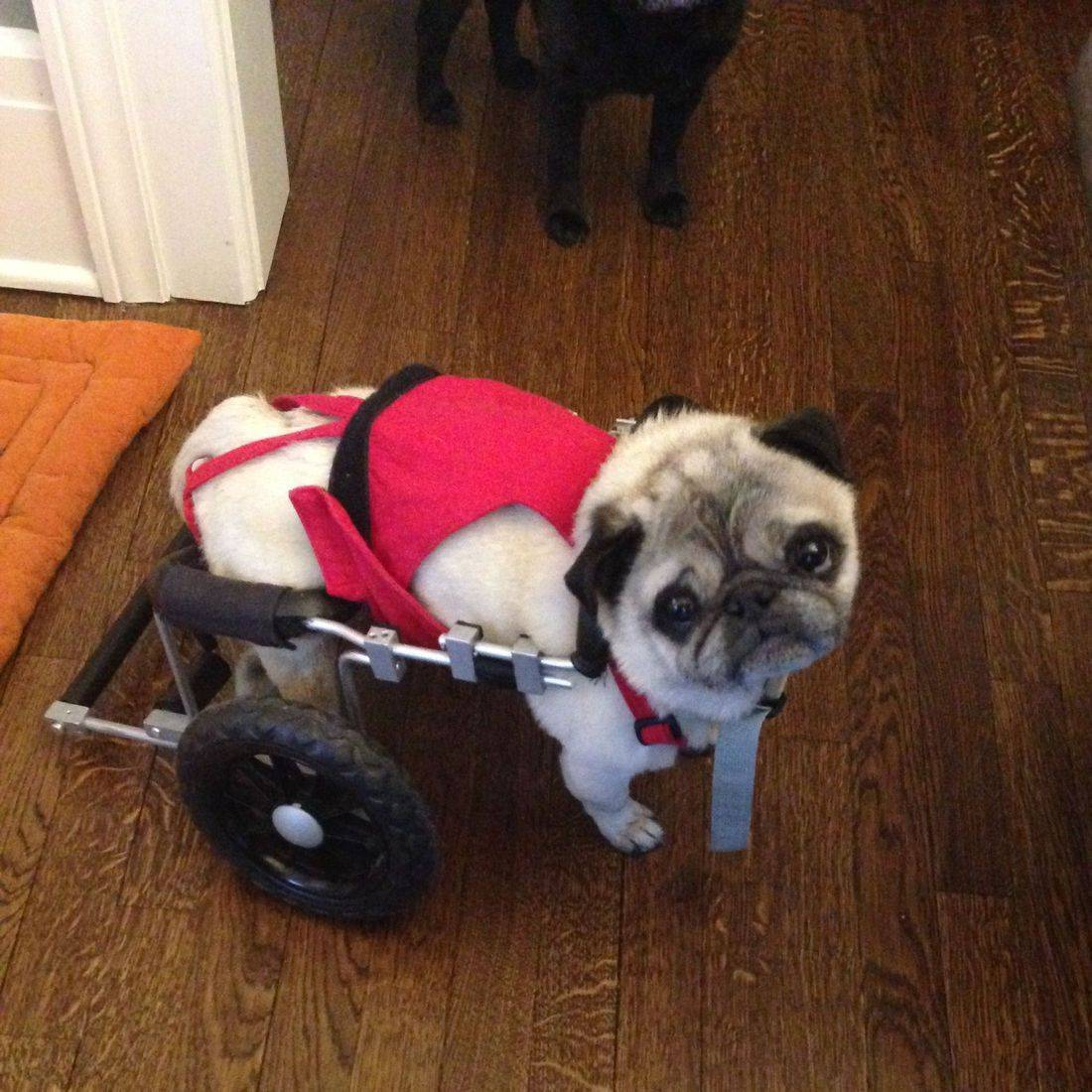 Photo of a pug with a doggie wheelchair