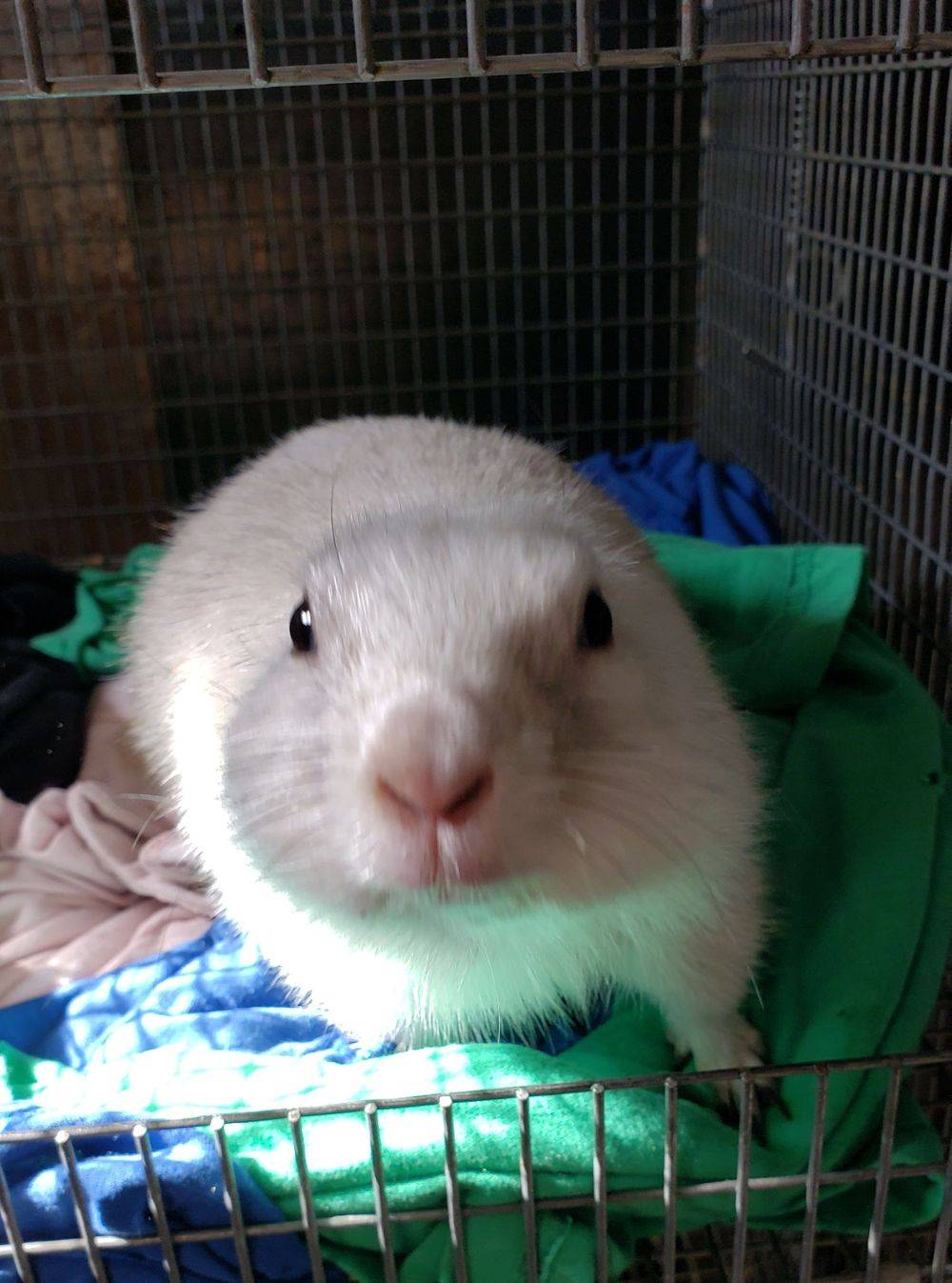 prairie dog black eyed white leucistic pet exotc