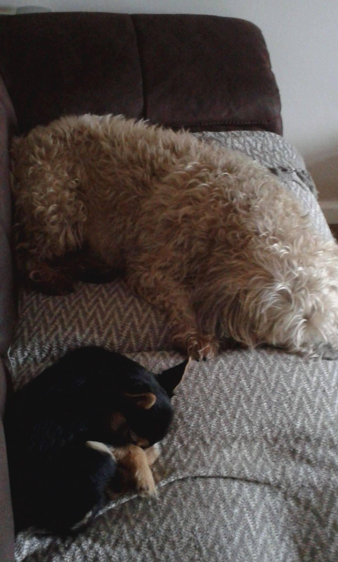 Dog sleeping on the sofa