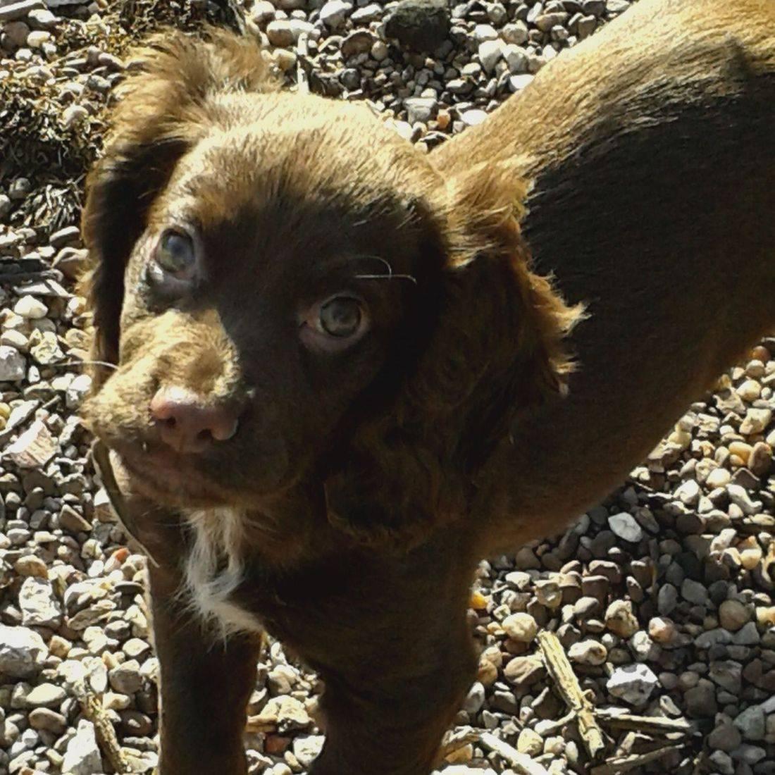 Cute brown cocker spaniel puppy