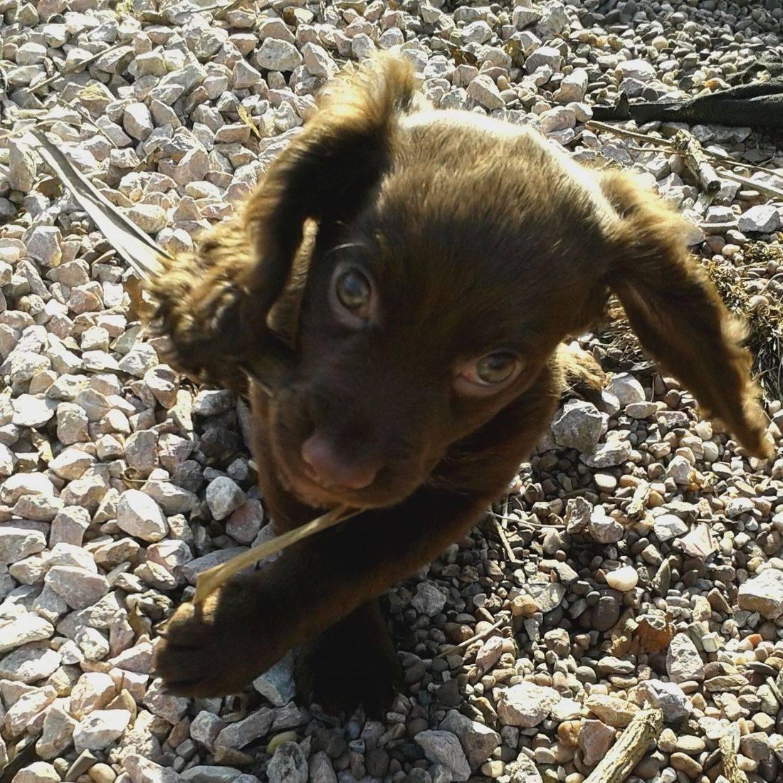 Gorgeous brown cocker spaniel puppy
