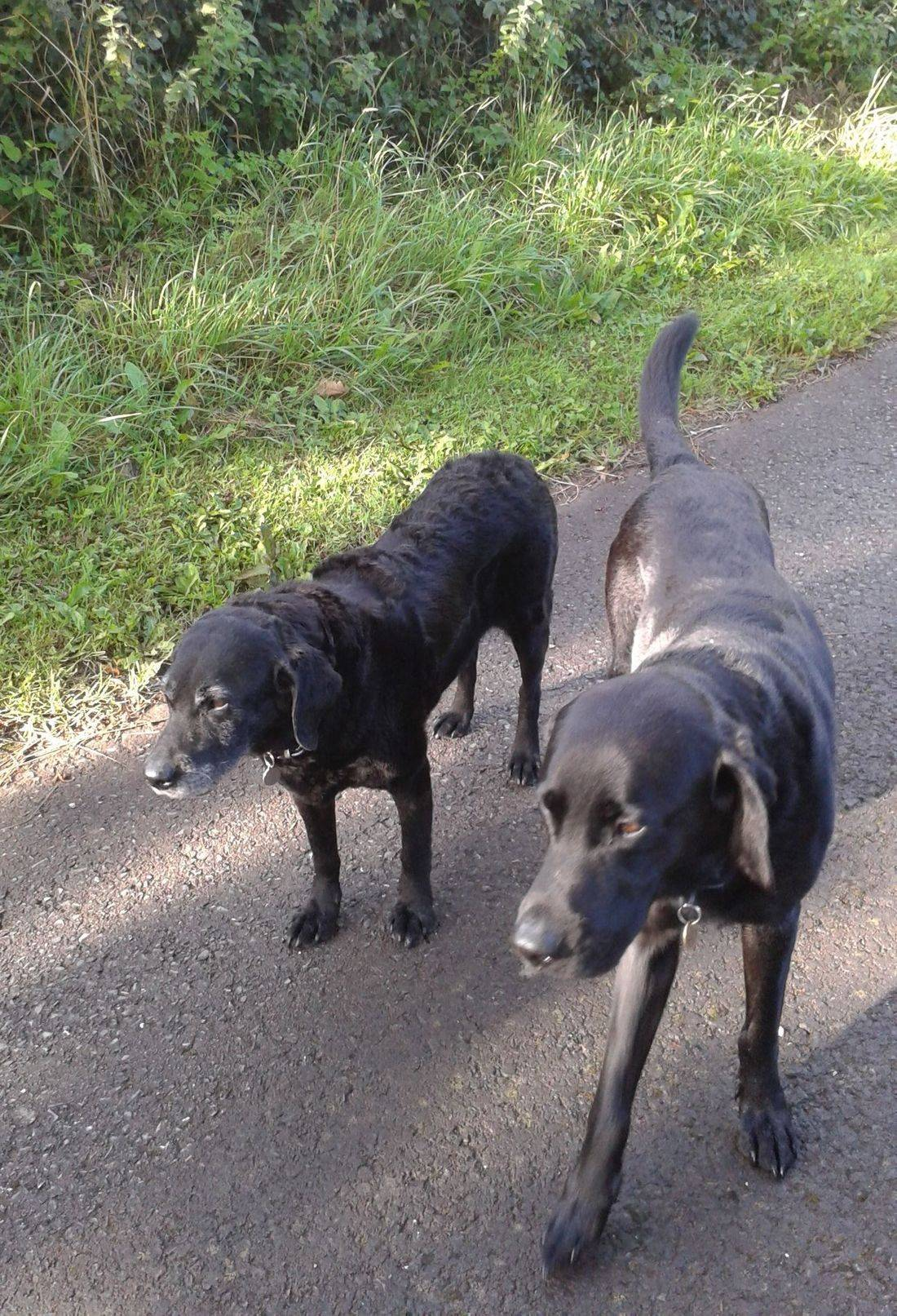 Black labradors strolling along