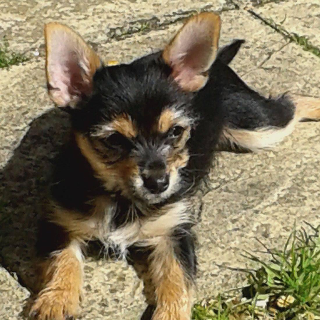 Cute puppy with big ears sunbathing