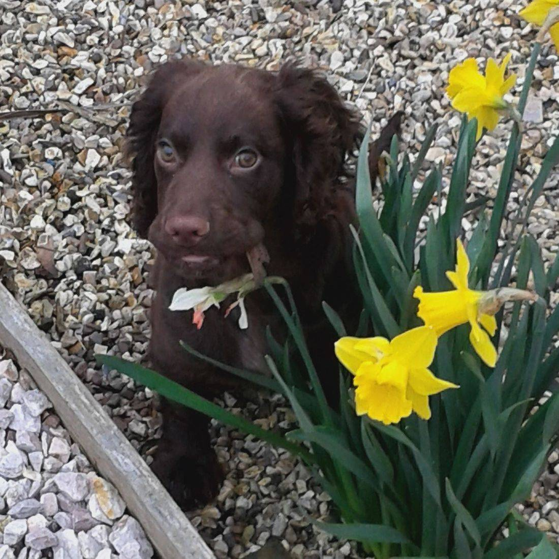 Brown Cocker Spaniel puppy in the daffodils