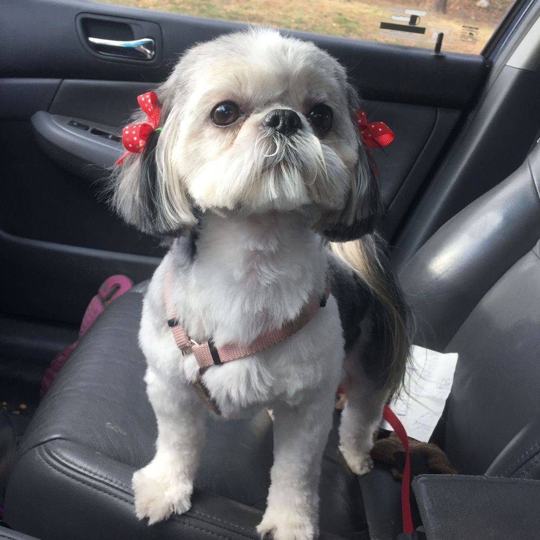 Photo of a cute dog with bows in her hair