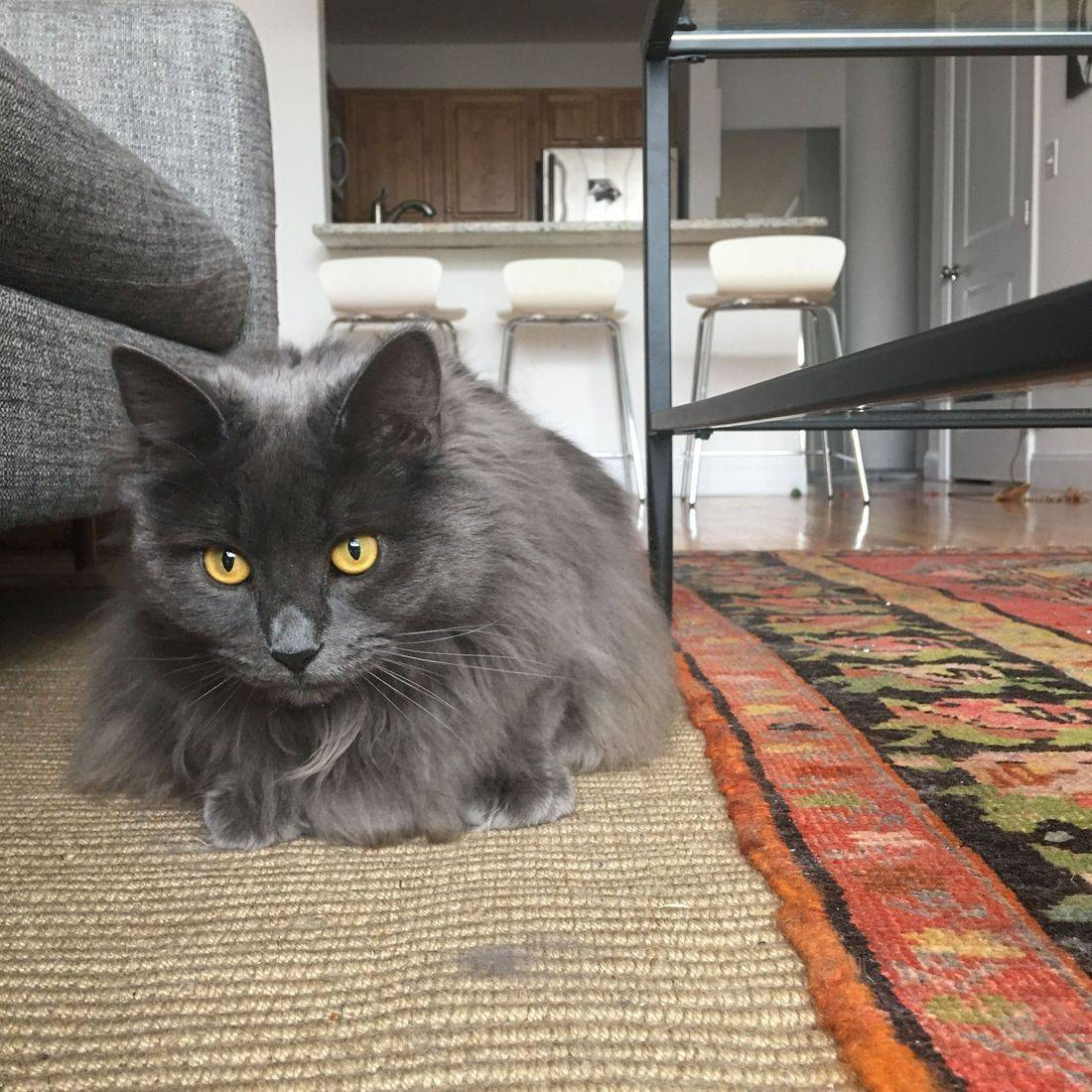 Photo of a gray cat laying on the ground