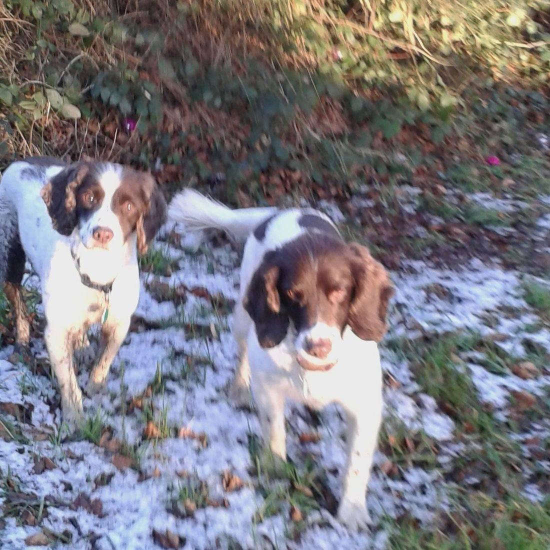 Springer Spaniels in the snow