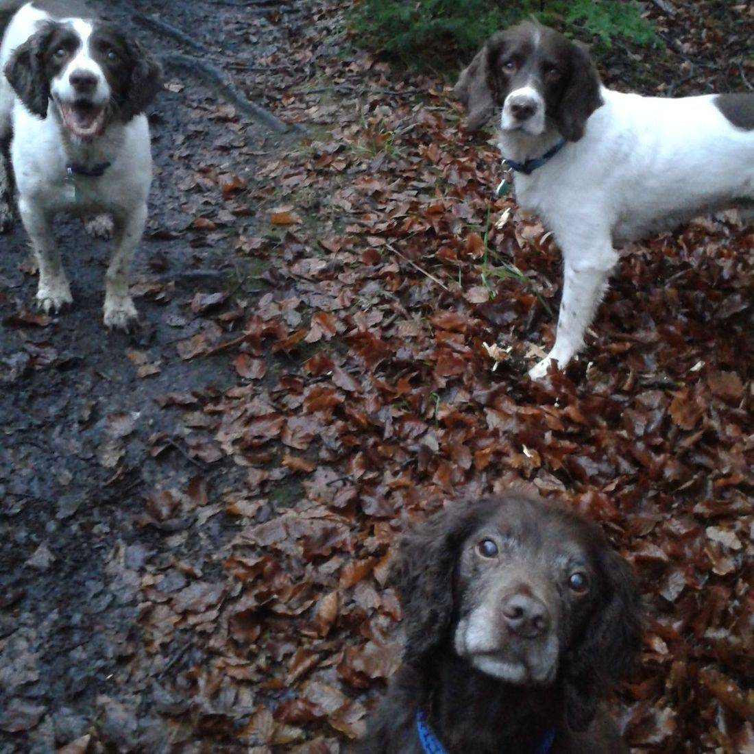 Spaniels in the Woods