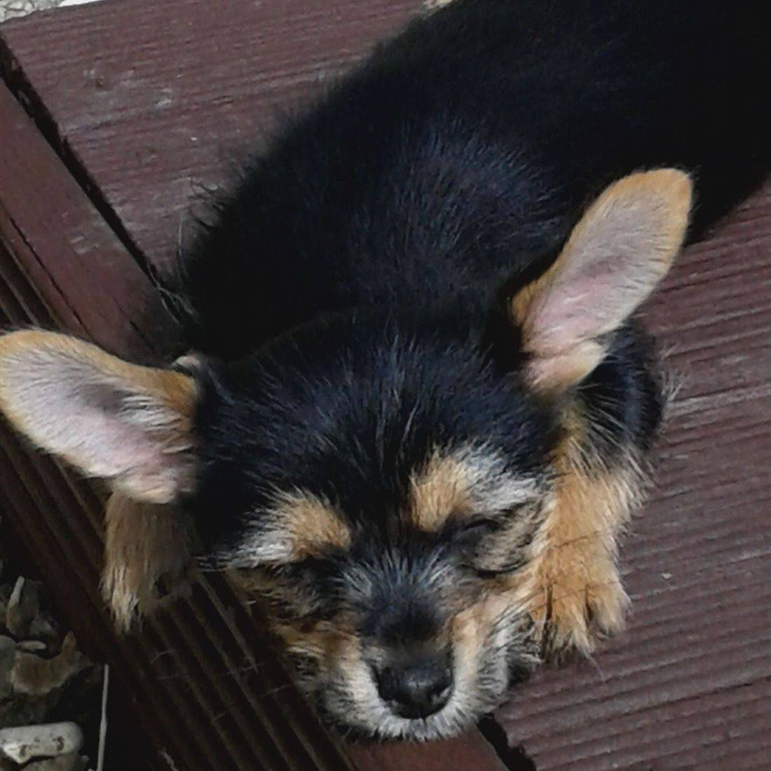 Cute dog with big ears snoozing on the sun deck