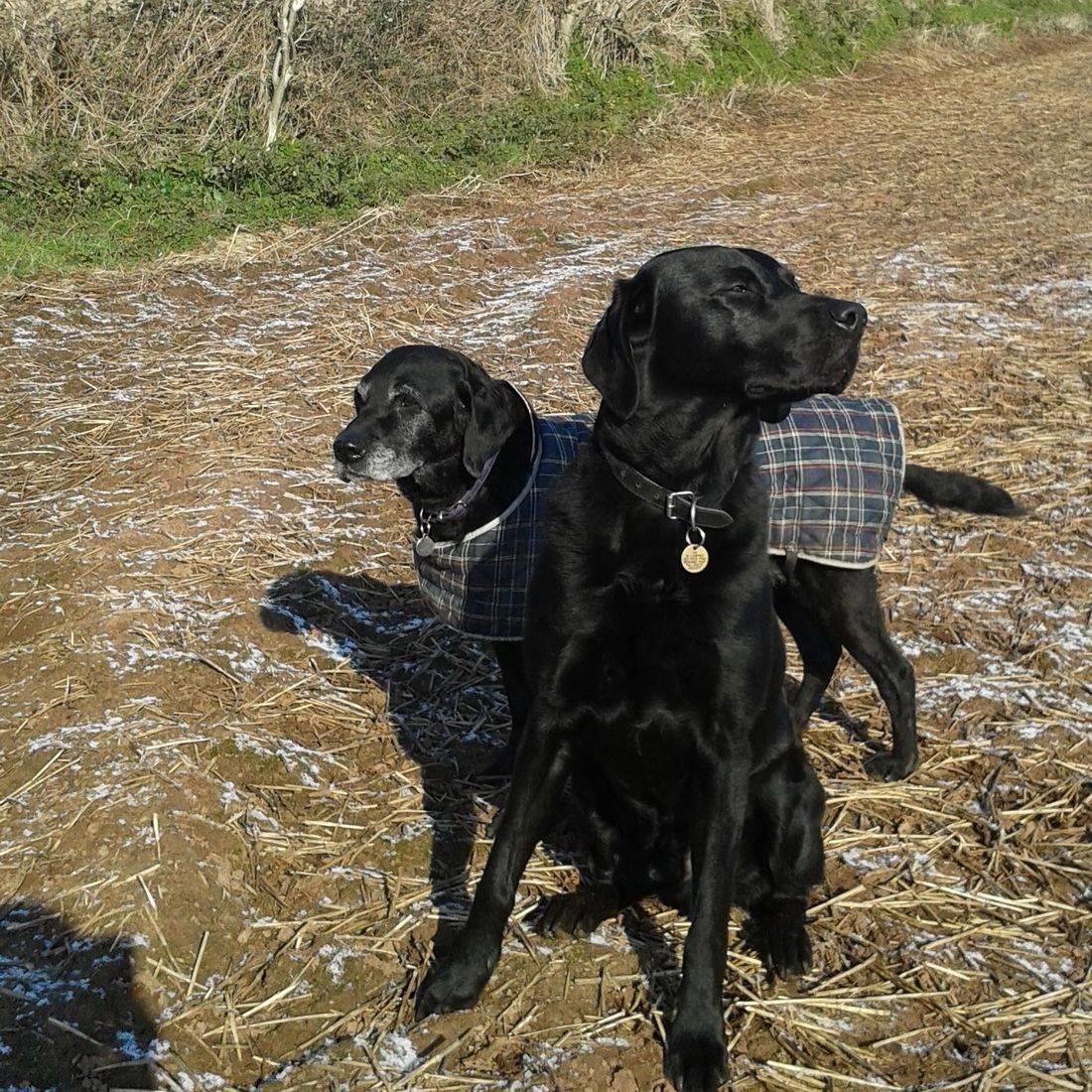 Black labradors in the field