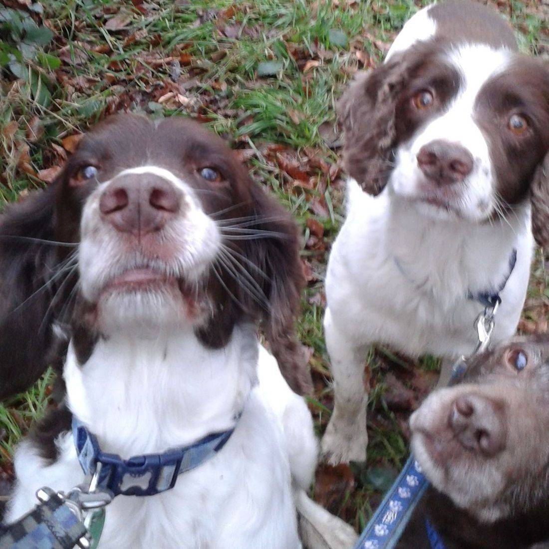 Spaniels trying to keep still for photo shoot