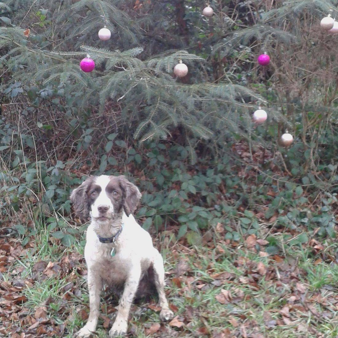 Springer Spaniel underneath a Christmas Tree in the woods