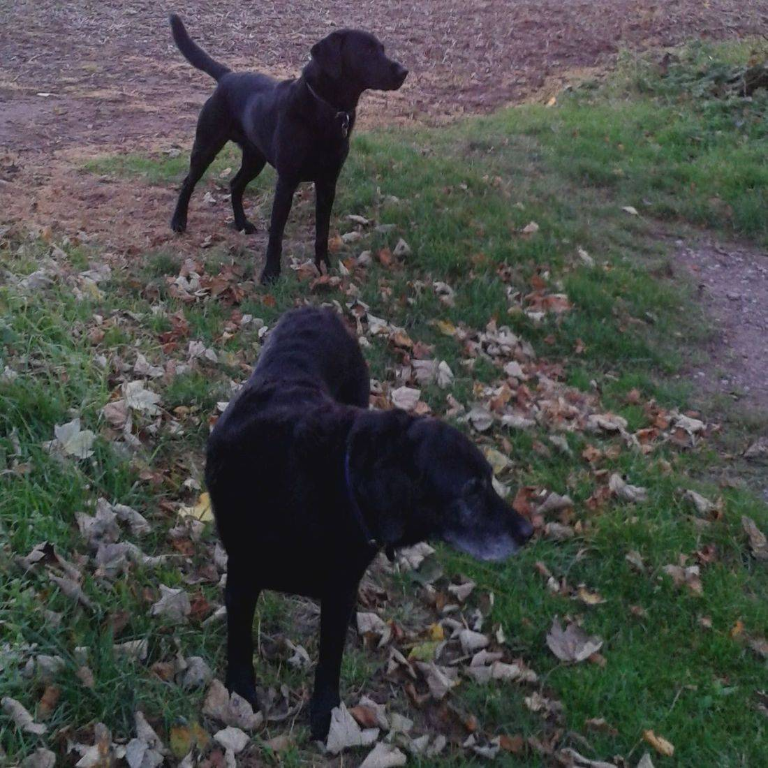 Two black labradors in a field