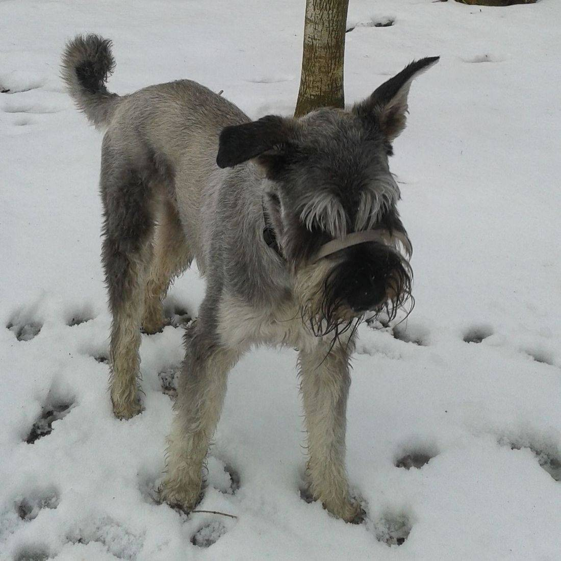Giant Schnauzer playing in the snow
