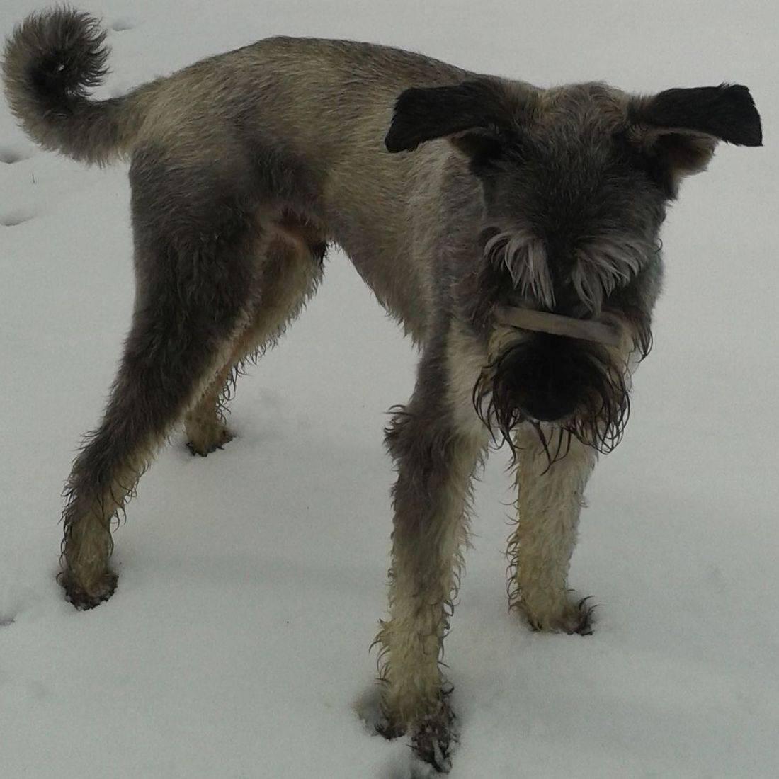 Giant Schnauzer in the snow
