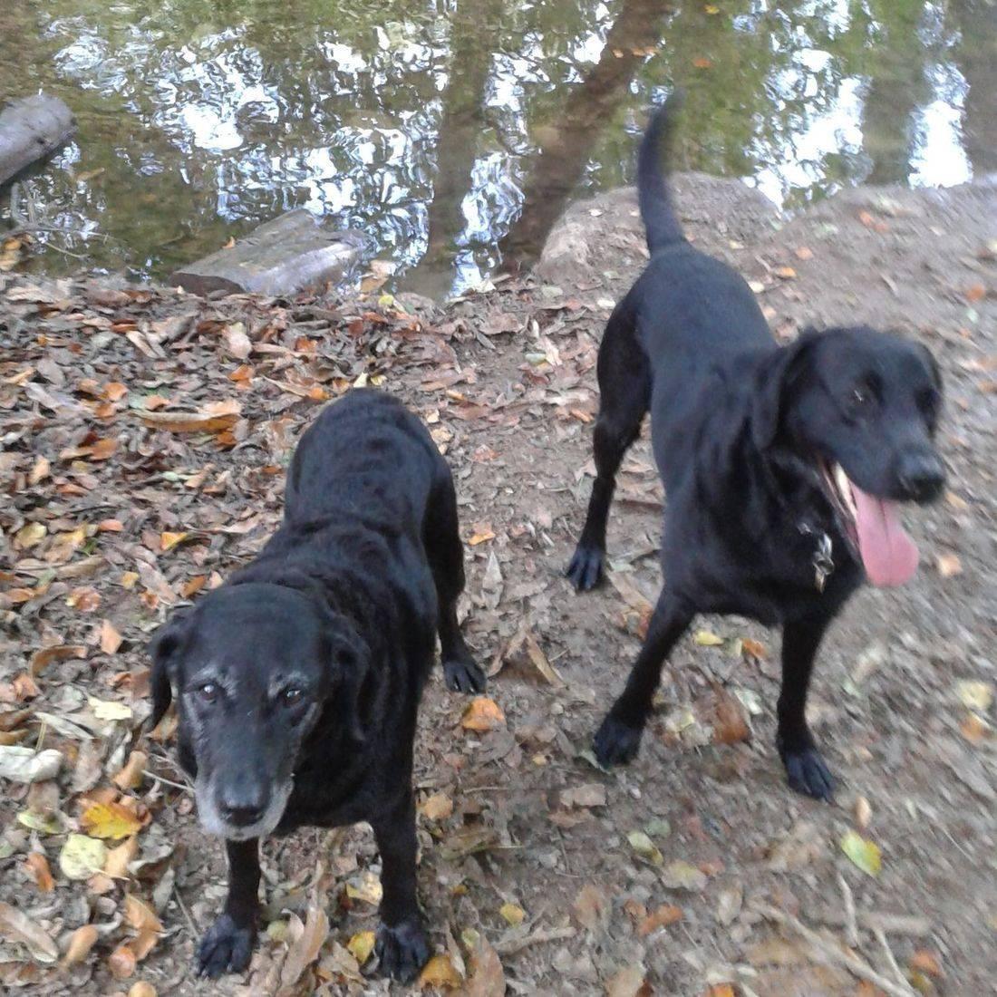 Black labradors by a stream