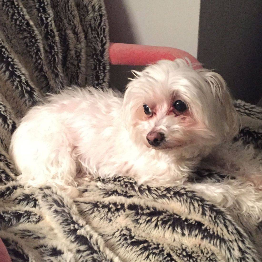Photo of a small white dog laying on a chair