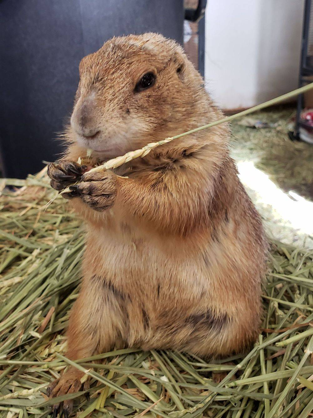 prairie dog exotic pet captive cage nutrition habitat rescue