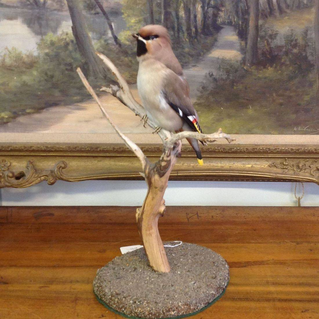 Taxidermy Waxwing