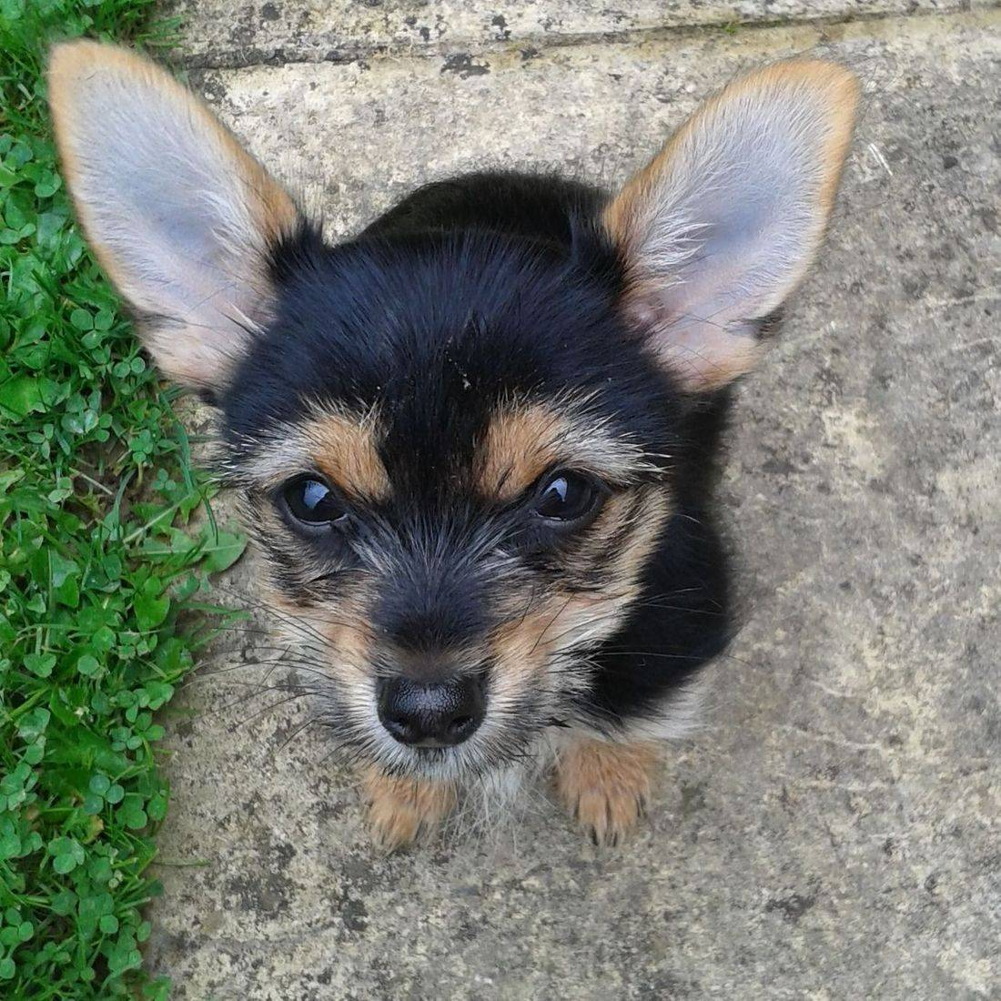 Cute puppy with the biggest ears ever