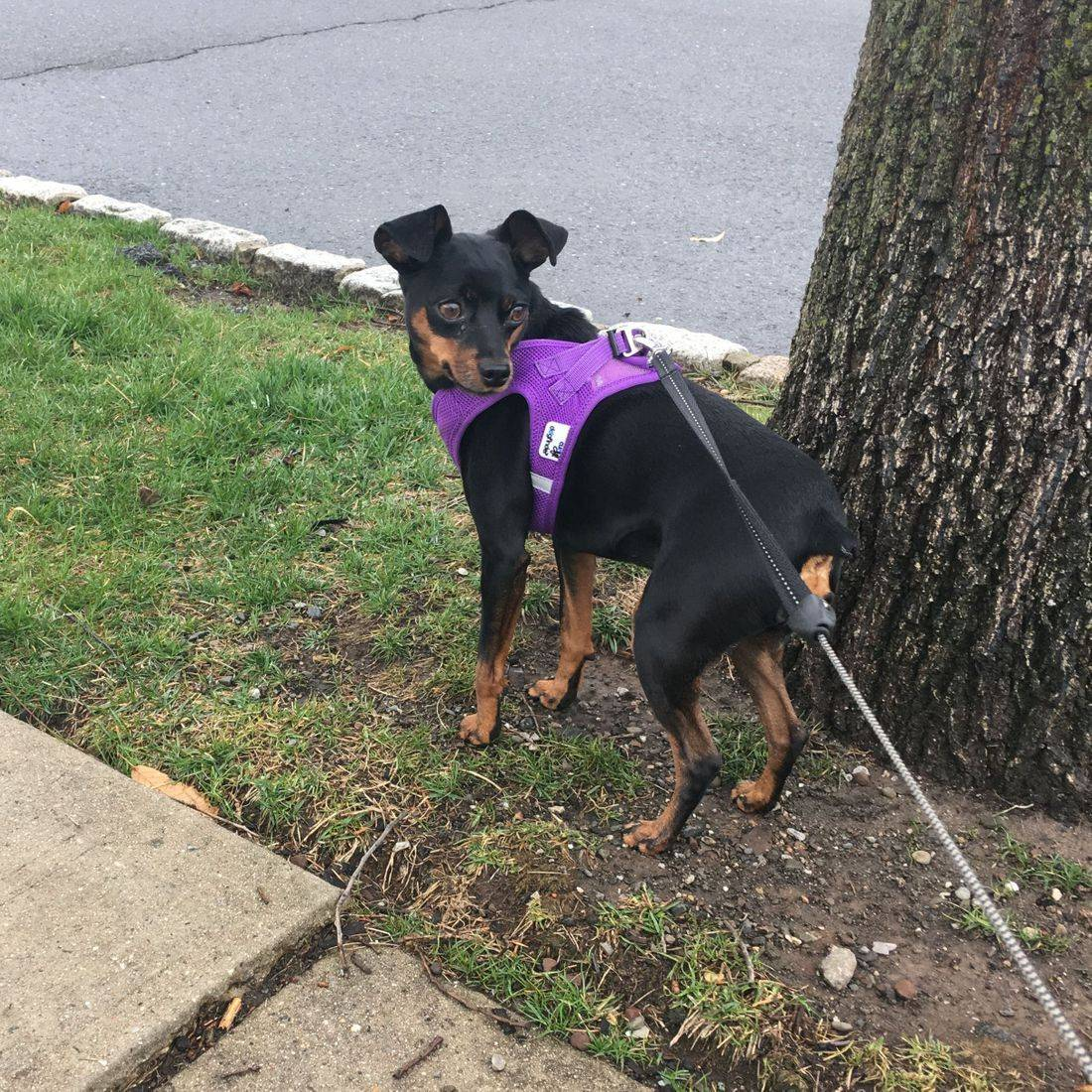 Photo of a black dog in a purple harness standing by a tree