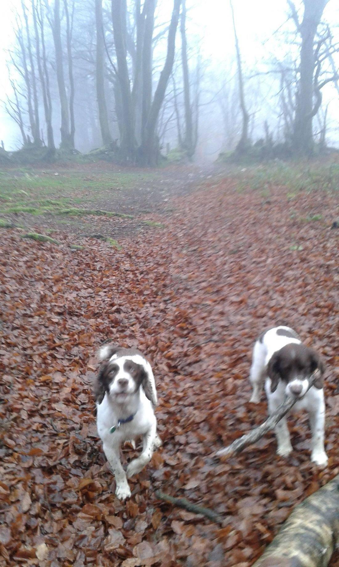 Springer spaniels in the misty woods