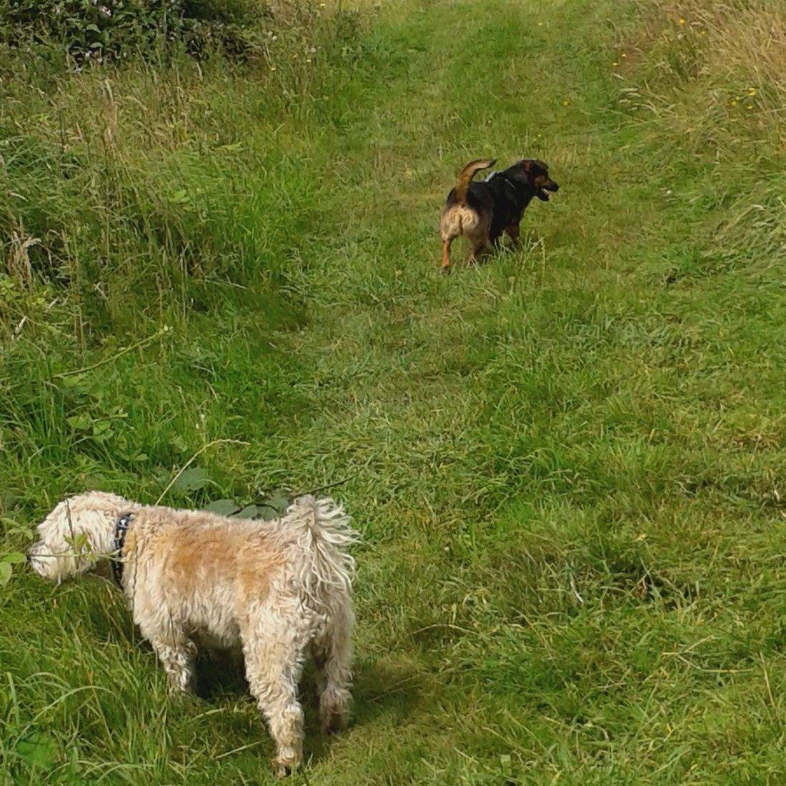 Dogs sniffing in a meadow